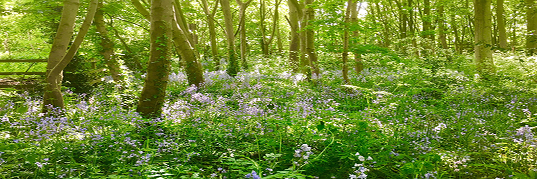 Bluebells - Tarvin Woodland
